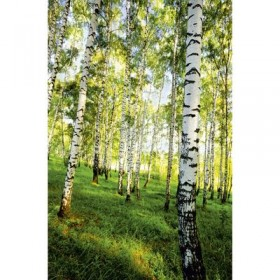 Фотообои К-117 «Берёзовый лес» (4 листа), 140 × 200 см