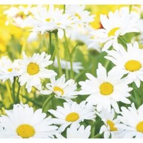 Фотообои К-118 «Ромашковое настроение» (6 листов), 210 × 200 см